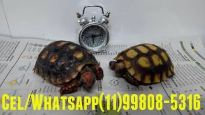 Tartaruga a venda com melhor preço e condição