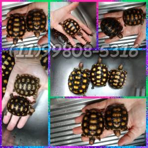 tartaruga de terra em SP