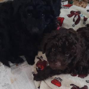 Poodle toy preto filhotes disponíveis