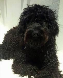 Cão de Agua Português procura namorada