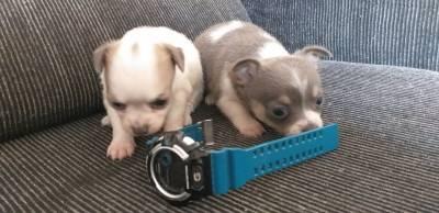 Femeas de Chihuahua