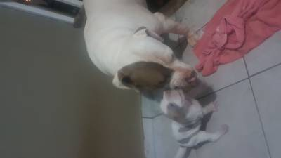 Pitbull red nouse macho