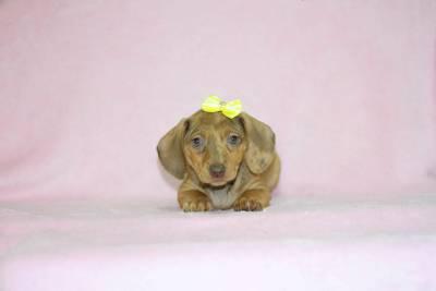 Dachshund Miniatura