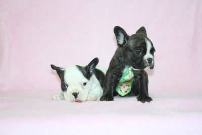 Bulldog Frances Tigrado e Branco