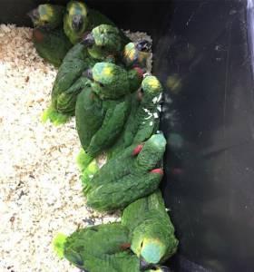 Papagaio Verdadeiro Campinas