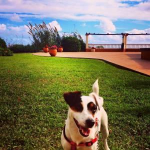 Jack russel terrier macho