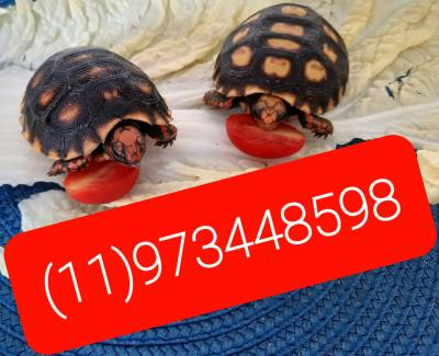 Tartaruga a venda em SP