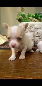 Tenho chihuahua bebê à venda