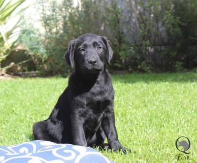 Fêmea preta Labrador Retriever