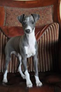 Lindos Filhotes De Italian Greyhound