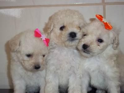 Poodle Lindos Filhotes