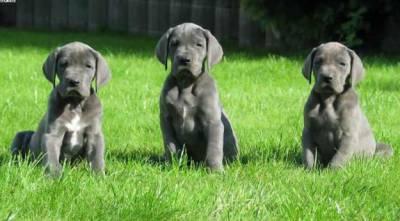 Lindos Filhotes De Dogue Alemão