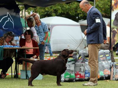 Labrador Retriever disponível para cruzas
