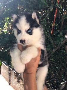Filhote de Husky Siberiano - Pronta entrega com pedigree e garantia