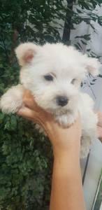 West highland white terrier - pronta entrega com pedigree e garantia
