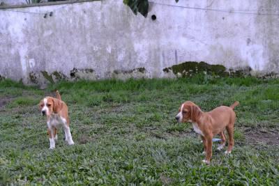 Cachorros Perdigueiro Português Niky da Ribeira Lima