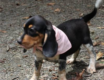 Cachorros Beagle Insab