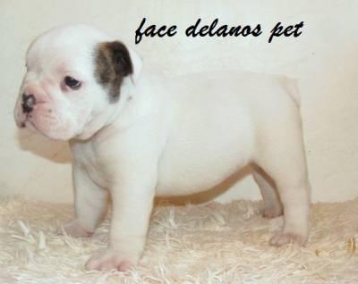 bulldog ingles filhotes delanos pet