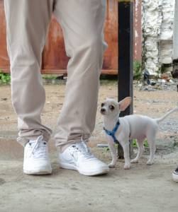 Machinho com pedigree procura namorada com pedigree para cruzar