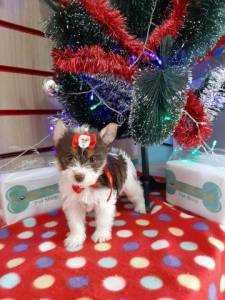 Biro Yorkshire Terrier Femea Na Wet Nose !! Mes De Natal
