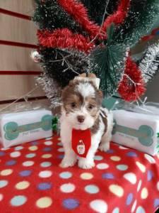 Biro Yorkshire Terrier - Lindo Macho Na Wet Nose !! Venham Conhecer Essa Raça Incrivel