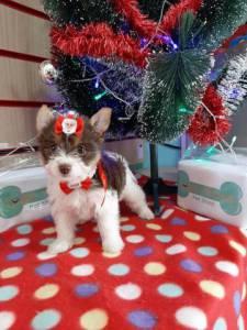Biro Yorkshire Terrier Linda Femea Na Wet Nose