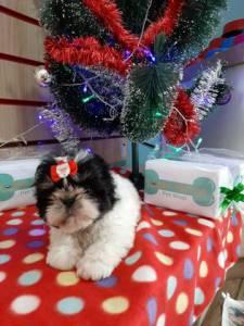 Shih Tzu Lindas Femeas !! O Melhor Presente De Natal Esta Aqui Na Wet Nose