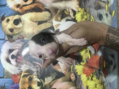 Dachshund miniatura piebald lindos filhotes disponíveis