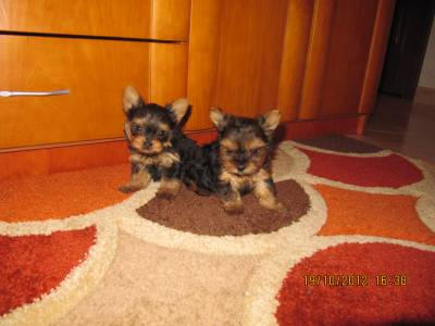 YORKSHIRE TERRIER SUPER MINIATURAS