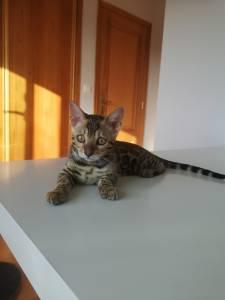 Gatinhos bengala