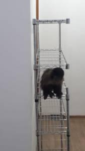 macaco prego