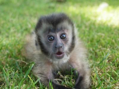 Macaco prego filhote