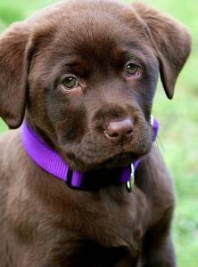 Labrador Amarelo