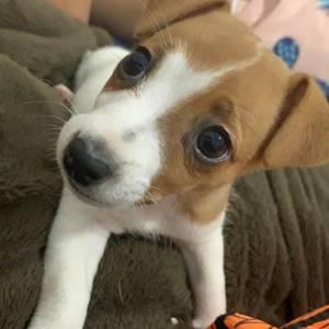 Filhote Jack Russel Terrier Fêmea