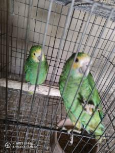 casal papagaios amazonas barbadensis anilha fechada e documentos excelente po