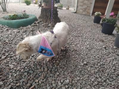 Doa-se cachorrinha com mistura de poodle