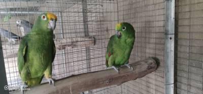 casal papagaios amazonas ochrocephala nao consanguineo anilha fechada e documentos prontos a e