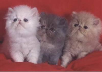 Estou a procura de gatinhos persa