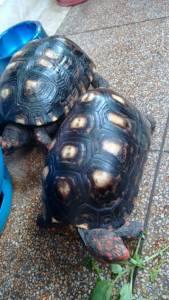 Tartaruga adulta