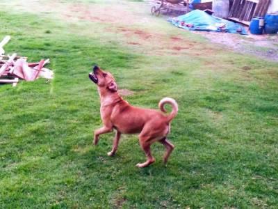 Boxer com Foxhound