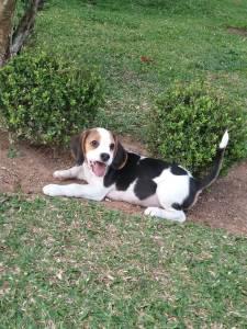 Filhote Beagle Macho e Enxoval Completo