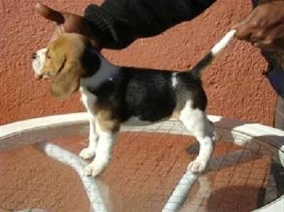 Beagle Lindos Filhotes de Treze polegadas
