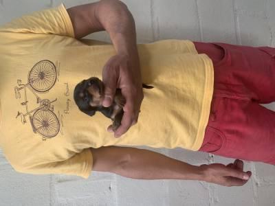 Pinscher zero anão filhotes