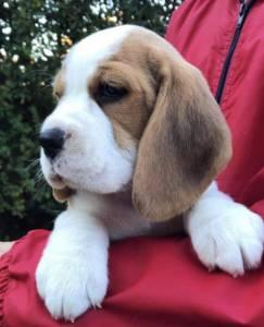 Lindos Beagle Porte Pequeno com Pedigree e Garantia de Saúde Filhote