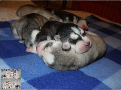 Huskies Siberianos - Quinta Das Capitoas
