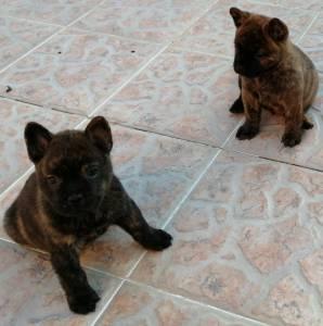 Excelente Cachorro Bulchow Chow Chow e Buldogue Francês