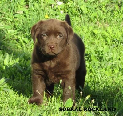 Labradores Chocolate