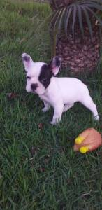 Bulldog francês fêmea pirata linda filhote te entrego hoje chama no zap Lapa Sp