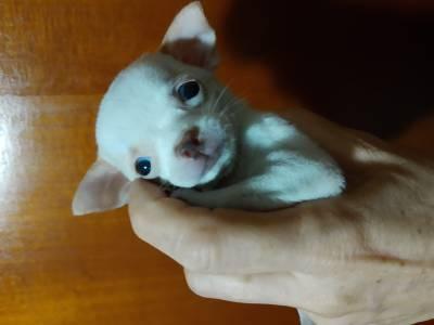 Chihuahua pequeninos