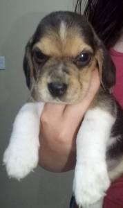 Vende se Filhote de Beagle Macho Tricolor